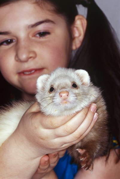 Ferrets are a popular pet that can be trained.