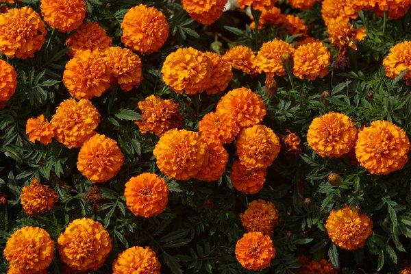 Se cultivan en zonas templadas.