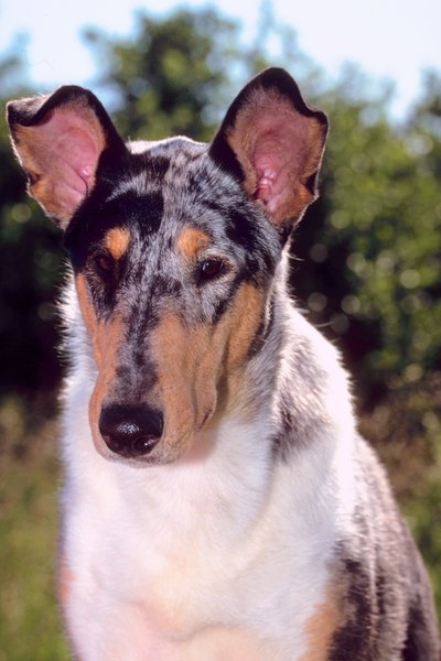 Breeds like collies should be evaluated by ophthalmologists for genetic ocular problems.