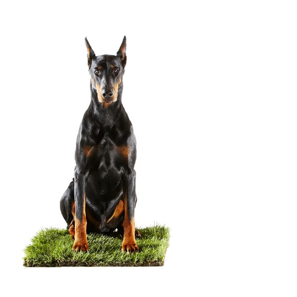 The Doberman is a dog of stately appearance, strength and agility.