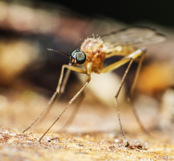 mosquitoes can be found on the tundra