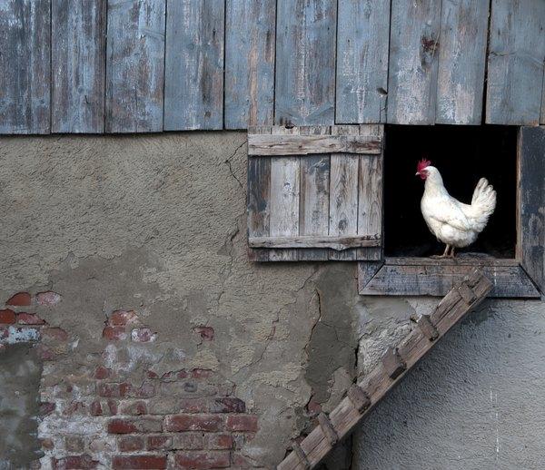 Ten cuidado con tus gallinas.