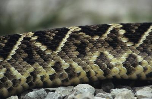 Snakes That Are Brown With Markings Like Diamonds | Animals