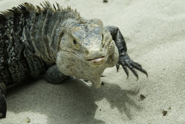 Reptiles are some of the more successful animals living in the deserts.