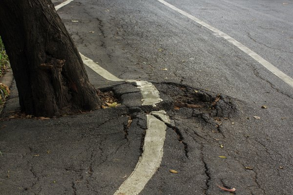 A tree root growing underneath pavement.