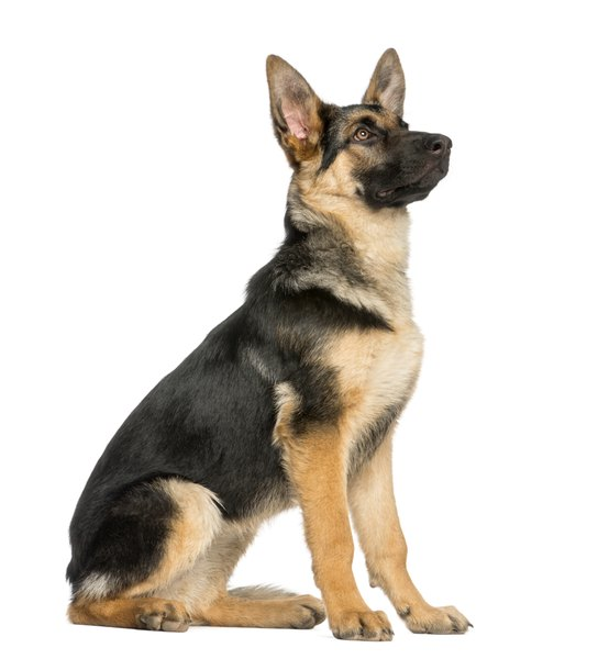 The coat of a German shepherd comes in a multitude of colors and patterns and varies in length.