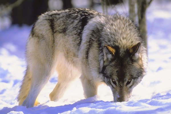 Ownership of dogs with wolf ancestry is facing ever increasing restrictions.