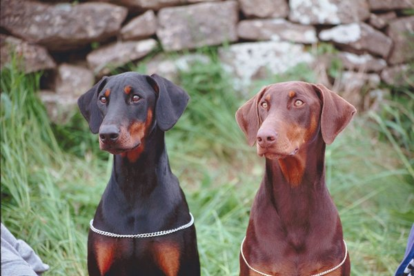 Doberman pinschers are among the breeds most prone to lipomas.