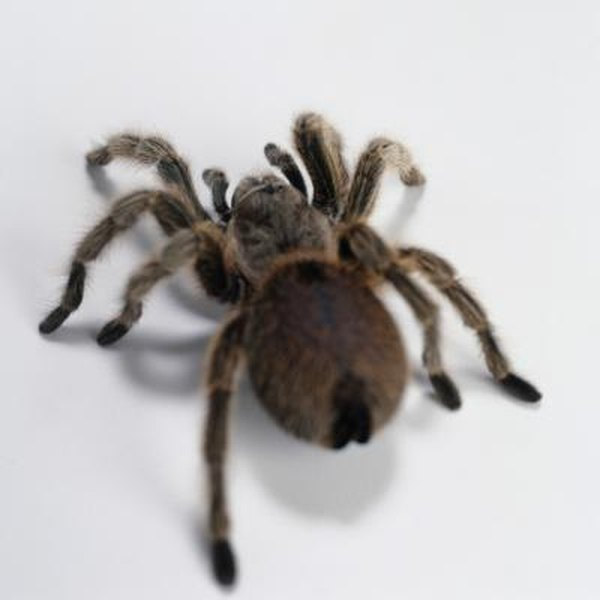 Spiders of the Mojave Desert | Animals - mom me