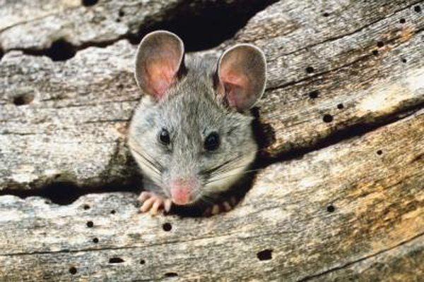 Rodents and other animal pests that can cause damage to your home are considered vermin.
