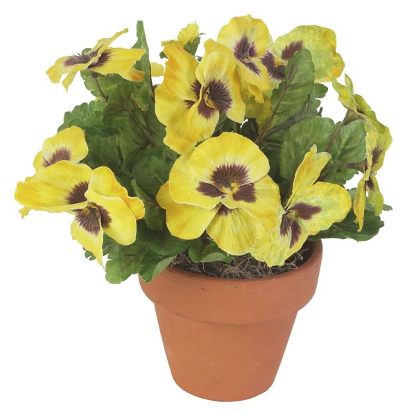Pansy Plant Characteristics Home Guides Sf Gate