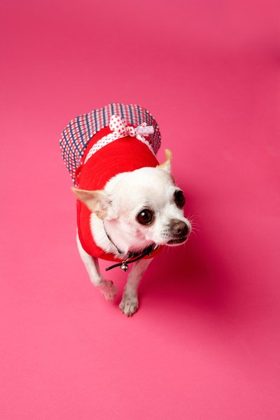 The Chihuahua has two coat types in a variety of colors and markings.