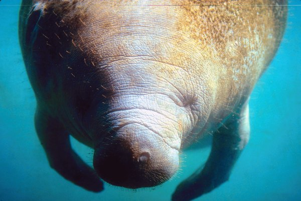 Lolling at or near the surface makes slow-moving manatees vulnerable to boats.