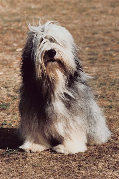 Bearded collies are intelligent and affectionate.