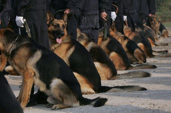 Pastores alemán en servicio.