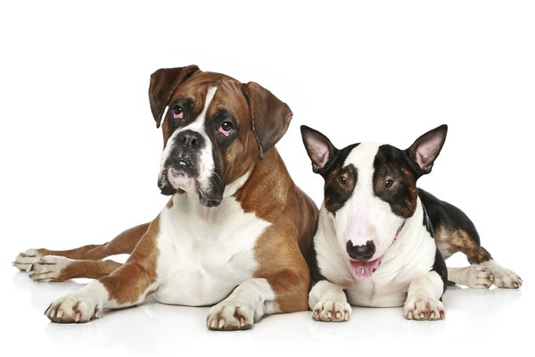 Combining a boxer with a bull terrier may give you one terrific dog.