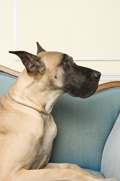 Apart from the basenji, the Great Dane is considered the quietest dog.