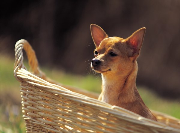 Toy breed dogs such as the Chihuahua are prone to tracheal collapse.