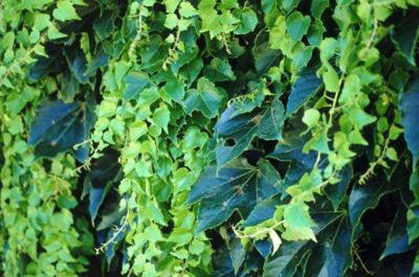 Chemicals to Kill English Ivy | Home Guides | SF Gate