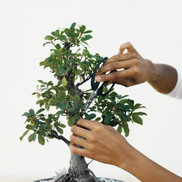 Fantastic How To Prune Branches On A Bonsai Ficus Home Guides Sf Gate Wiring Cloud Ratagdienstapotheekhoekschewaardnl