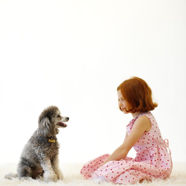 A miniature poodle is the midsize poodle in the AKC poodle lineup.