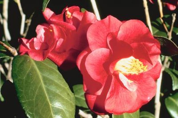 Identification for camellia bushes home guides sf gate mightylinksfo