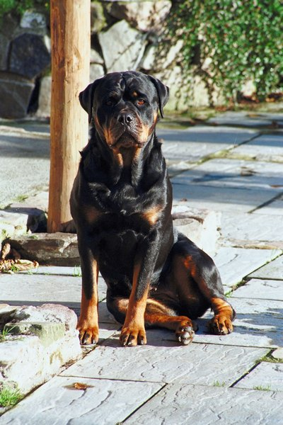 "Rottweilers may cause harm trying to ""fix"" and allergic reaction."