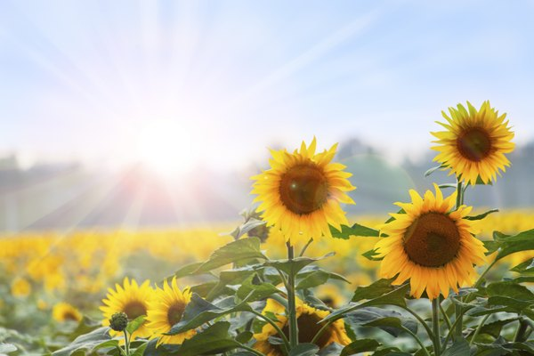 The sun is a source of light and energy for plants.