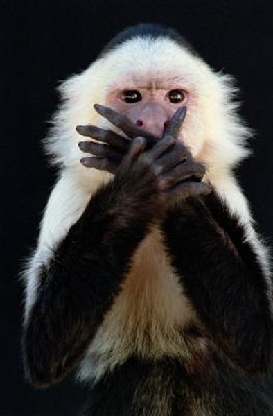 What to Expect When Owning a Capuchin Monkey | Animals - mom me