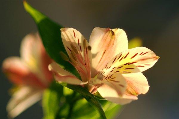 El lirio es una flor que por su diversidad terrestre y acuática multiplica oportunidades de tenerla.