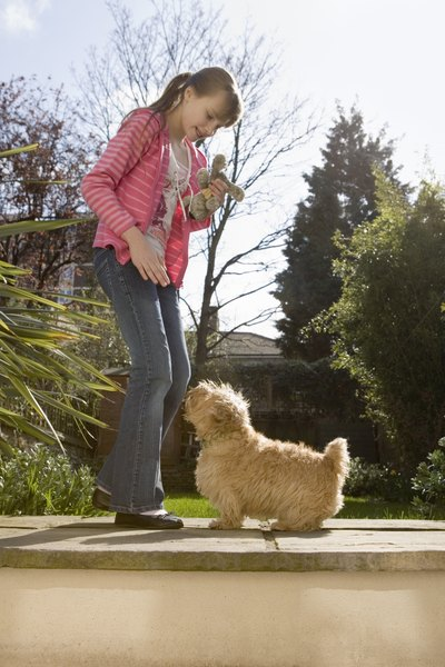 The Norfolk terrier eagerly serves as a playful and devoted companion.