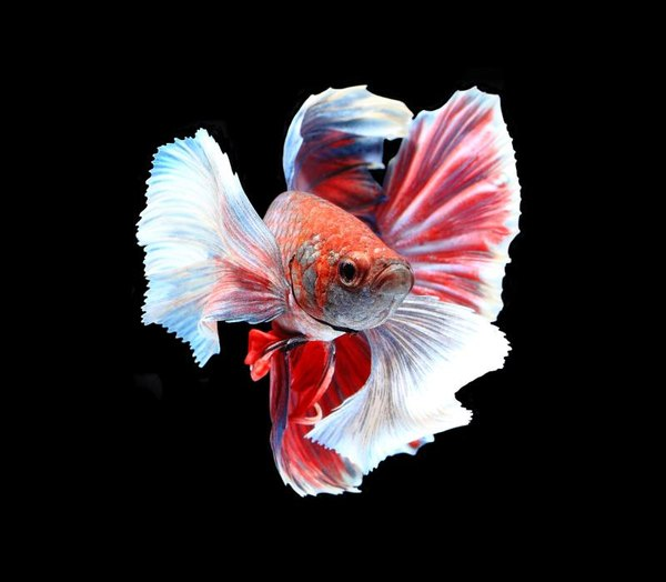 Facts about crowntail male betta fish pets for Crowntail betta fish