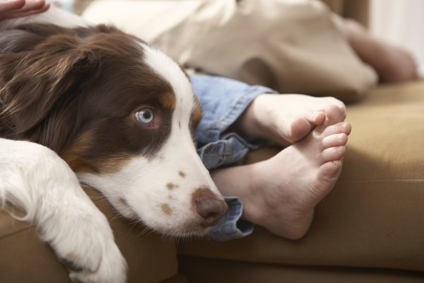 Syncope in dogs can be a symptom of serious underlying illness.