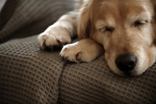 Golden retrievers are more susceptible to some skin diseases than other breeds.