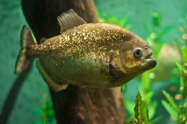 The piranha is the most famous of rain forest fish.