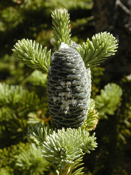 A green pine cone sparkling with sap.