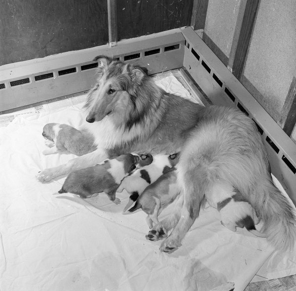 Nursing provides newborn pups nutritionally balanced diet until they start eating puppy food.