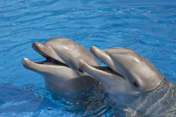 The blowhole is what dolphins use to breathe when they reach the water surface.