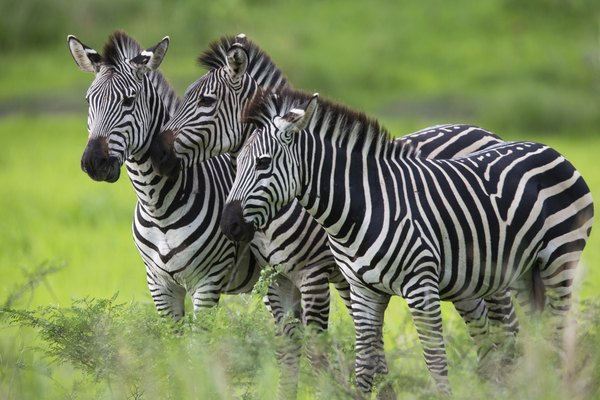 three zebras in grass
