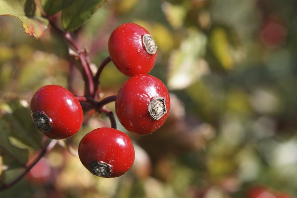 A close-up of red berries on a baneberry plant.