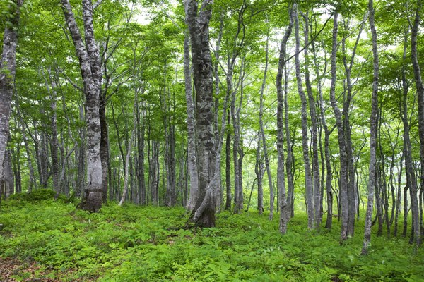 Beech trees grow in the Holarctic region