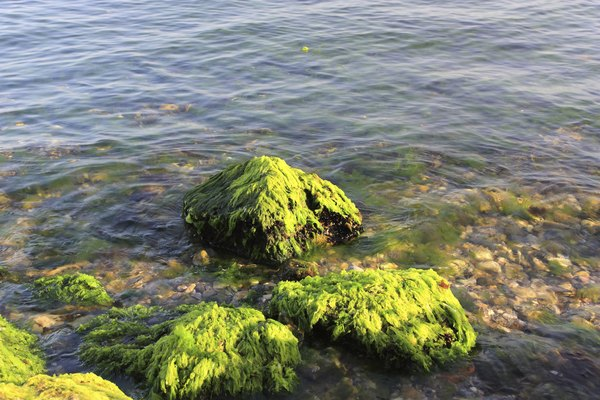 There are three main seaweed groups.