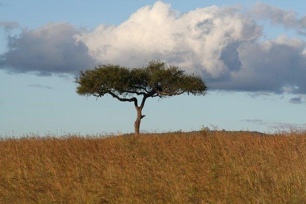 Acacia tree.