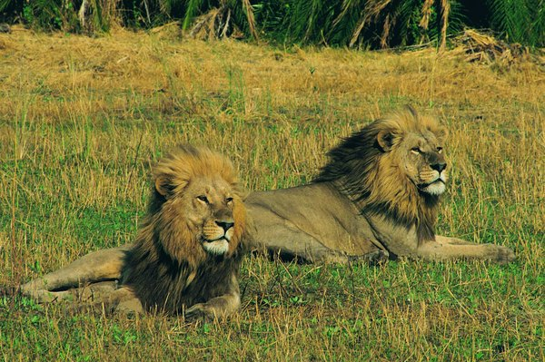 Lions in the Okavango Delta will hunt in flooded grasslands and marshes.