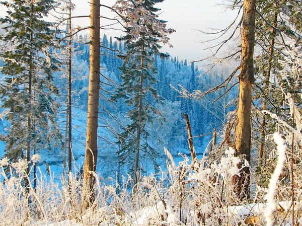 Snowy conifers on a frosty morning in the taiga.