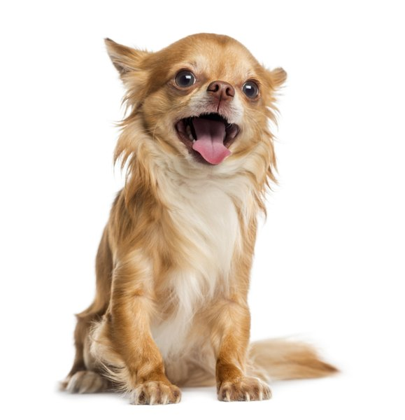 Chihuahuas live an average of 14 to 18 years.