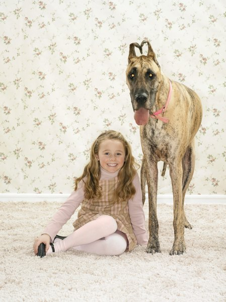 A brindle Great Dane is hard to overlook.