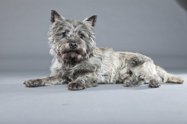 """Toto,"" the cairn terrier in the ""Wizard of Oz,"" hailed from Kansas, another Midwestern state."