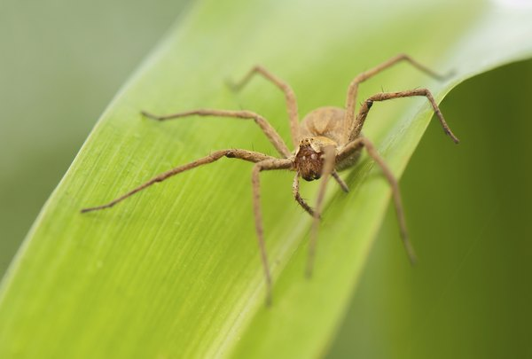 Fishing spiders can be found around water plants.