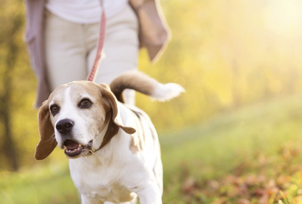 Adequan may help increase mobility in dogs suffering from arthritis.
